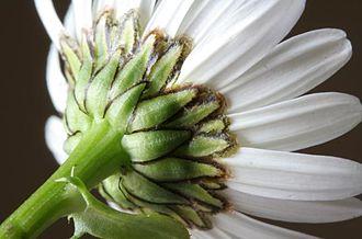 Leucanthemum vulgare - Image: Leucanthemum vulgare ENBLA03