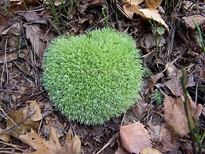 Description de l'image Leucobryum glaucum 2.jpg.