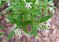 Leucopogon spathaceus 1.jpg