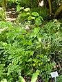 Leycesteria formosa - Botanischer Garten, Frankfurt am Main - DSC02545.JPG
