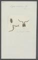Ligia oniscides - - Print - Iconographia Zoologica - Special Collections University of Amsterdam - UBAINV0274 098 08 0005.tif