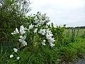 Lilas blanc - panoramio.jpg
