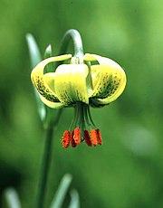 Lilium pyrenaicum.jpg