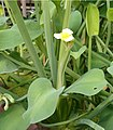 Limnocharis flava HabitusFlower BotGardBln0906.jpg
