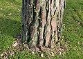 Linnaea borealis kz01.jpg