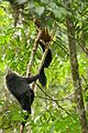 Lion-tailed macaque and indian giant squirrel IMG 4787.jpg