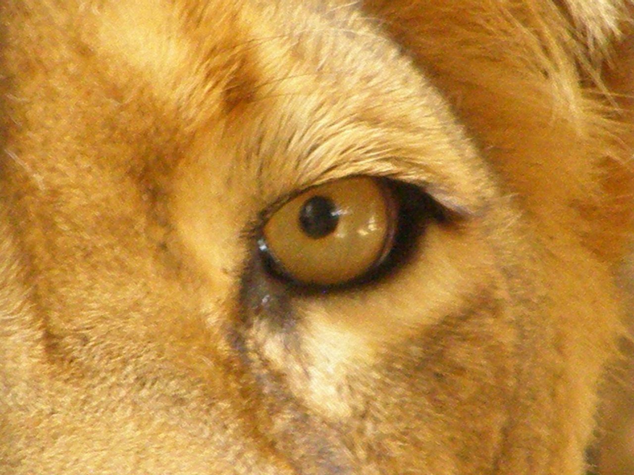 file lion panthera leo eye close up jpg wikimedia commons