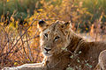 Lion Female Kruger National Park.jpg