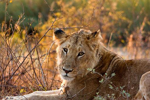 Lion Female Kruger National Park