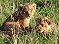 Lion cubs, Ngorongoro (2015).jpg