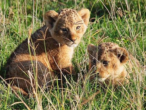 Lion cubs, Ngorongoro (2015)