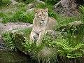 Lion female.jpg