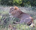 Lion male with scanty mane at Samburu NR 2.jpg