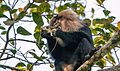 Lion tailed macaque eating Lizard.jpg