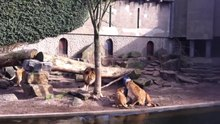 فائل:Lions eat heron for lunch!.webm