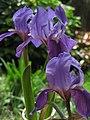 Lirio morado - Lirio común - Cárdeno (Iris germanica) (14362712004).jpg