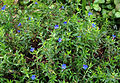 Lithodora diffusa Heavenly Blue - Roscoff.jpg