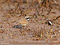 Little Ringed Plover (Charadrius dubius) (39702588102).jpg
