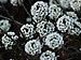 Lobularia maritima - Photo (c) Luis nunes alberto,  זכויות יוצרים חלקיות (CC BY-SA)
