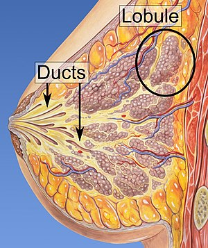 Lobules and ducts of the breast.jpg
