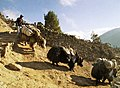 Local Yak transportation - this is the 10,000 ft high altitude yak version - panoramio.jpg