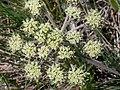Lomatium macrocarpum (3521350319).jpg