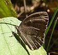 Long-brand Bushbrown^ Mycalesis visala - Flickr - gailhampshire.jpg