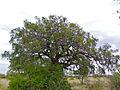 Long-pod Cassia (Cassia abbreviata) (12032805543).jpg