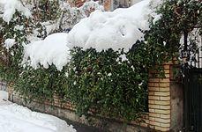 Lonicera japonica in winter.jpg
