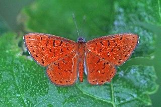 <i>Calospila</i> genus of insects
