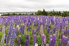 Lupinus field, St. John's, Newfoundland.jpg