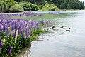 Lupinus sp. at Lake Tekapo, New Zealand 09.jpg