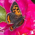 Lycaena phlaeas MHNT dos.jpg