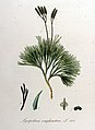 Lycopodium complanatum — Flora Batava — Volume v10.jpg