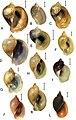 Lymnaeidae (10.3897-zse.96.52860) Figure 3.jpg