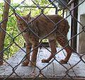 Lynx.lynx.lynx-ZOO.Brno2.jpg