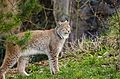 Lynx (16867910630).jpg