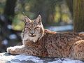 Lynx lynx, Luchs 05.JPG