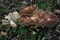 Lyophyllum decastes 141221w.JPG