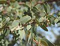 Lysiphyllum cunninghamii foliage.jpg