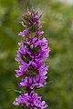 Lythrum salicaria fresnes-au-mont 55 05072008 03.jpg