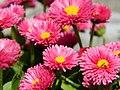 Macro, Pink Flowers - panoramio.jpg