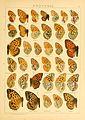 Macrolepidoptera01seitz 0145.jpg