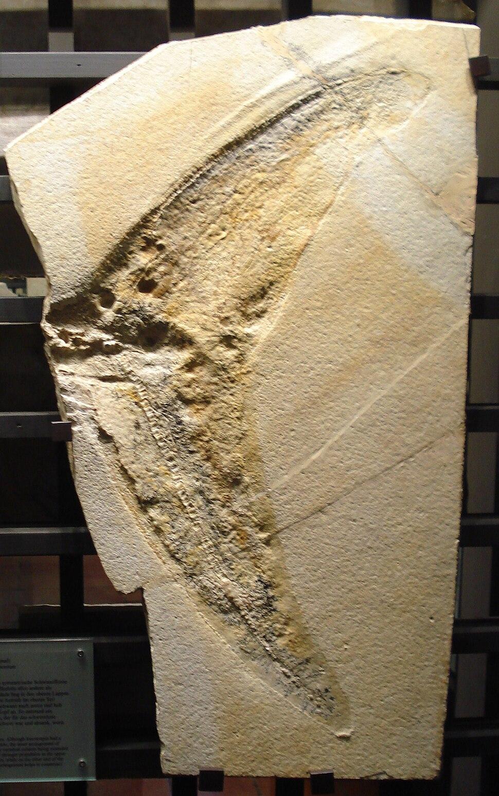 Macropterygius posthumus