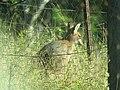 Macropus parryi (35367780295).jpg