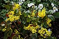 Mahonia aquifolium 'Apollo' AGM at RHS Garden Hyde Hall, Essex, England.jpg