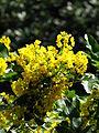Mahonia aquifolium flowers 10.JPG