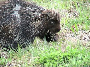 English: A porcupine eating grass and clover.