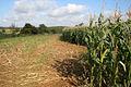 Maize crop near Branston - geograph.org.uk - 998848.jpg