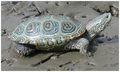 Malaclemys terrapin - journal.pone.0027373.g003.png